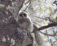Baby Barred Owl Stock Image