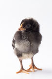 Baby Barred Rock chick. Newly hatched black and white Barred Rock baby chick on a white background Stock Photography