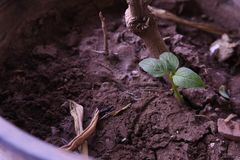 Baby Basil leaf growing in soil Stock Photos