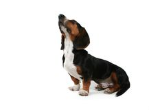 Baby basset Stock Photo