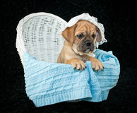 Baby Beabull Puppy. Funny little Beabull puppy sitting in a bassinet wearing a baby bonnet, on a black background royalty free stock image