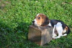 Baby beagle Stock Image