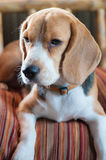 Baby beagle on orange pillow Stock Photography