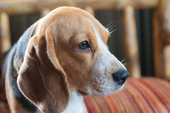 Baby beagle on orange pillow Royalty Free Stock Image