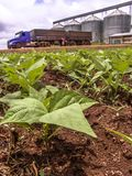 Baby bean plantation on field, with a unfocused truck and silos