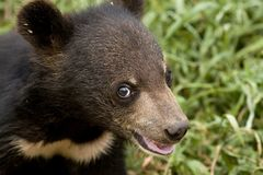 Baby bear Royalty Free Stock Photo