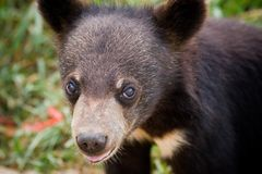 Baby bear. Cute baby bear looks shyly at the camera in front of it stock photos