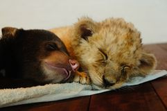 Baby bear and baby lion Stock Photo
