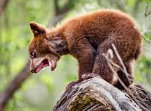 Baby bear cub yells for his mother for help in getting down out of the tree royalty free stock images