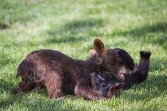 Baby bear cubs Stock Photo