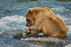 Baby-bear with his first catched fish, Katmai NP, Alaska. Coastal brown baby-bear with his first catched fish at Brooks Falls in Katmai National Park, Alaska stock photo