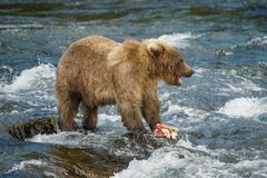 Baby bear playing with salmon, Katmai NP, Alaska. Baby bear playing with catched salmon in Katmai NP, Alaska, US royalty free stock images