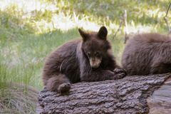 Baby bear in Sequoia National Park, California stock photo