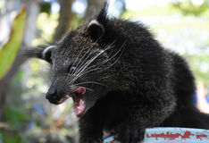 The Baby Bearcat looking for foods Royalty Free Stock Image