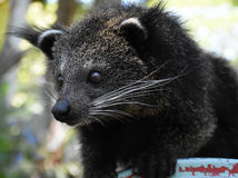 The Baby Bearcat in staring mood Royalty Free Stock Images