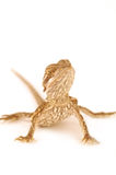 Baby Bearded Dragon. A baby bearded dragon on a isolated on a white background Royalty Free Stock Photo