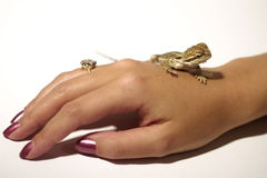 Baby Bearded Dragon. On woman's hand Royalty Free Stock Photography