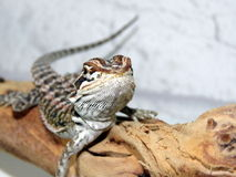 Baby Bearded Dragon Stock Image