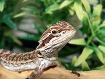 Baby Bearded Dragon Stock Photography