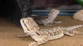Baby Bearded Dragon Reptiles