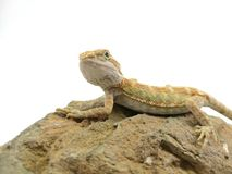 the baby bearded dragon royalty free stock photography