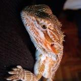 Baby bearded dragon royalty free stock photos