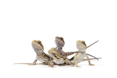Baby Bearded Dragons. On white background Royalty Free Stock Photos