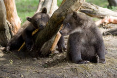 Baby bears Stock Photos