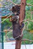 Baby bears Stock Photos