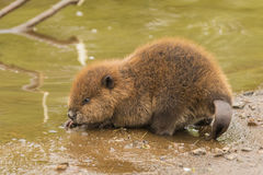 Baby Beaver. Young beaver at the edge of a river stock photo