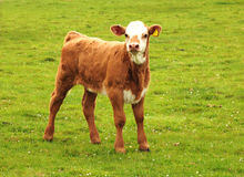 Baby beef. A young bull calf makes the most of a sunny day Royalty Free Stock Photos