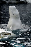 Baby Beluga Pops Up To Say Hello Royalty Free Stock Image