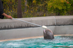 Baby Beluga Training at Marineland Canada. A baby beluga at Marineland Canada in Niagara Falls, Ontario, engaged in some target training during an enrichment Stock Image