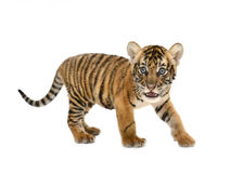 Baby Bengal Tiger Royalty Free Stock Photos