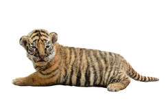 Baby bengal tiger isolated Stock Images
