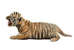 Baby bengal tiger isolated. On white background royalty free stock photo