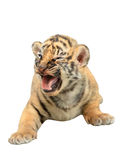 Baby bengal tiger isolated Stock Photo