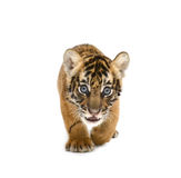 Baby bengal tiger. Isolated on white background stock photography
