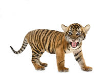 Baby bengal tiger stock photos