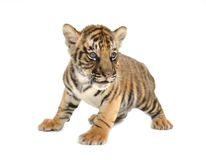 Baby bengal tiger. Isolated on white background stock images