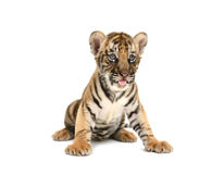 Baby bengal tiger. Isolated on white background Royalty Free Stock Photo