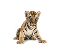 Baby bengal tiger. Isolated on white background royalty free stock images