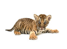Baby bengal tiger. Isolated on white background stock photos