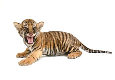 Baby bengal tiger. Isolated on white background royalty free stock photos