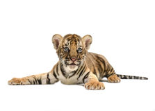 Baby bengal tiger. Isolated on white background royalty free stock photography