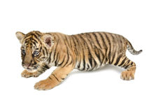 Baby bengal tiger. Isolated on white background stock image
