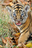Baby bengal tiger. And kitten are very similar. But  is a bigger than kitten royalty free stock photo