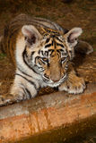 Baby Bengal Tiger at water's edge Stock Image