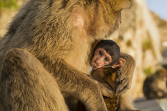 A baby berber monkey with its mother in Gibraltar Stock Images