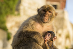 A baby berber monkey with its mother in Gibraltar Royalty Free Stock Photos